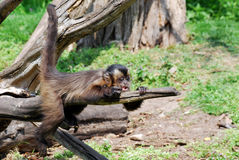 Monkey lying on the branch Stock Photography