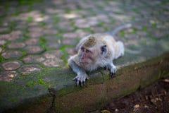 Monkey lying on a rock. Quiet monkey lying on a rock stock photography