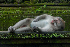 Monkey lying on the stone Royalty Free Stock Images
