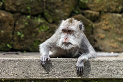 Monkey lying on stone in ubud forest, Bali Stock Photos