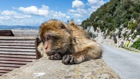 A monkey lying on a wall and looking at the camera
