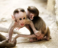 Monkey Macaca Babies in Indian Town Stock Photo