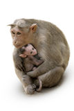Monkey Macaca Family In Indian Town Royalty Free Stock Image