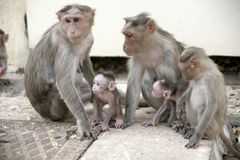 Monkey Macaca Family in Indian Town Stock Photo