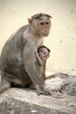 Monkey Macaca Family in Indian Town Royalty Free Stock Photo