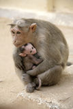 Monkey Macaca Family in Indian Town Royalty Free Stock Images