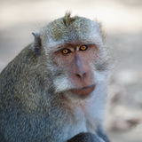 Monkey - macaca fascicularis Stock Photo