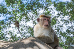 Monkey macaca. Monkeys in the wild, Macaca Sylvanus, Barbary Macaque Royalty Free Stock Image