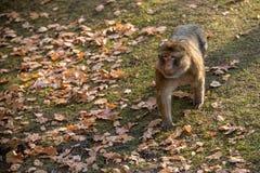 Monkey Macaca Sylvanus Stock Images