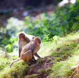 Monkey - Macacus mulatta Stock Images