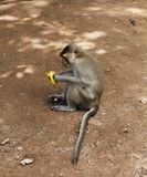 The monkey with banana. Monkey macaque cleans and eats banana. The monkey sits on the ground stock images