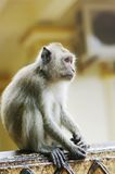 Monkey macaque  closeup Royalty Free Stock Image