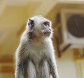 Monkey macaque closeup Royalty Free Stock Photos