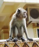 Monkey macaque  closeup Royalty Free Stock Images