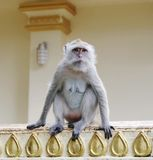 Monkey macaque  closeup Stock Photography