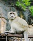 Monkey macaque  closeup Stock Image