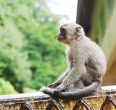Monkey macaque  closeup Stock Photos
