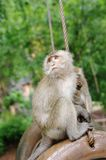 Monkey macaque  closeup Royalty Free Stock Photography