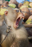 Monkey Macaque Coconut Agape. Raising monkeys. And teach it to help farmers harvest coconuts Royalty Free Stock Photos