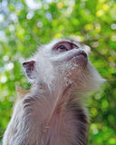Monkey macaque look up Stock Image