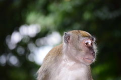 Monkey. The macaque looks a bit anxious. Either it is facing an opponent or a possible danger. The anxiety is clearly reflected in the eyes Stock Photos