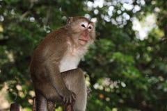 Monkey Macaque, Railay, Krabi,  Thailand Stock Photo
