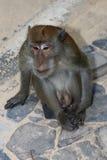 Monkey Macaque, Railay, Krabi,  Thailand Royalty Free Stock Image