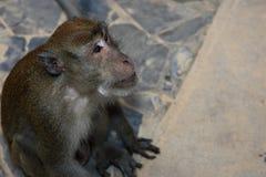 Monkey Macaque, Railay, Krabi,  Thailand Royalty Free Stock Photography