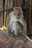Monkey Macaque, Railay, Krabi,  Thailand Stock Image