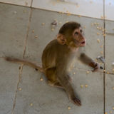 Monkey (macaque) Royalty Free Stock Photography