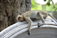 Monkey. Macaque monkey sleeping on a wall outside the Khao Yoi mountain temple, Petchaburi province in Thailand Stock Photo