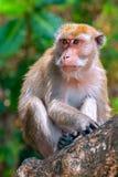Monkey (macaque) on a tree Stock Photos