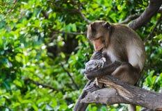 Monkey macaques есть семена подсолнуха Стоковые Фото