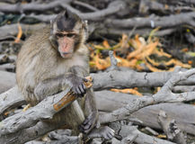 Monkey macaques Stock Photography