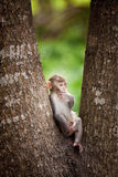 Monkey. The macaques constitute a genus (Macaca) of Old World monkeys of the subfamily Cercopithecinae. The twenty-two species of macaques are widespread over Stock Photo