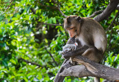Monkey macaques eating sunflower seed Stock Photos