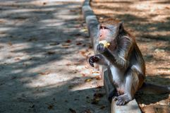Monkey macaques sit on the curb by the road and eat corn. Side view portrait. royalty free stock image