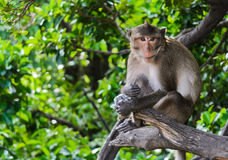 Monkey macaques sitting on tree Stock Photo