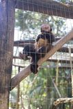 A monkey is making pose in the cage, royalty free stock photo