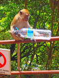 Monkey at the Malaysian Batu Caves Royalty Free Stock Photography