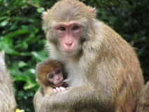 Monkey Mam Feeding a Baby Stock Images