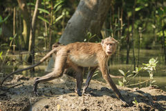 Monkey in mangrove forest. At Thailand Stock Photo