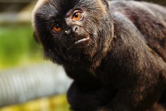 Monkey Marmoset. Monkey or ape. face of black mamoset with brown eyes. african wildlife royalty free stock photo