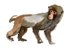 Monkey (marmoset) Royalty Free Stock Photos