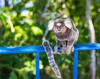 Monkey Marmoset in Rio de Janeiro Royalty Free Stock Image