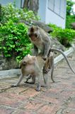 Monkey Mating Stock Images