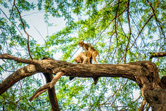 Monkey mating on the tree Royalty Free Stock Photography