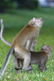 Monkey mating 1 Royalty Free Stock Images