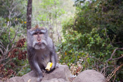 Monkey with a meal. Image of monkey with a meal who has eyes which shows that she knows how to ask for something to eat. Bali, Indonesia Royalty Free Stock Images