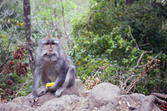 Monkey with a meal Royalty Free Stock Image